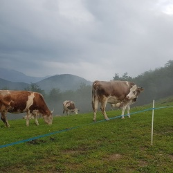 mucche ranghetto
