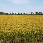 risaie vespolate